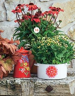 Echinacea sunmagic 'Vintage Red' Le pot Ø 19 cm (873383)