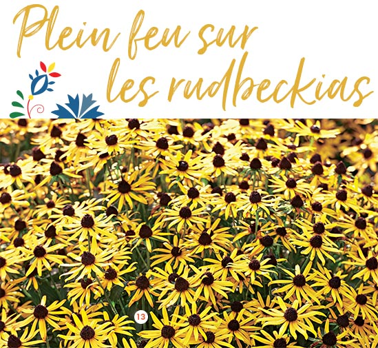 Rudbeckia little Goldstar 'Truffaut' Le pot de 2 litres (671650)