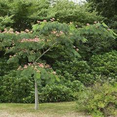 Albizia julibrissin ' Ombrella ': Tige circonférence 8/10 cm  ctr