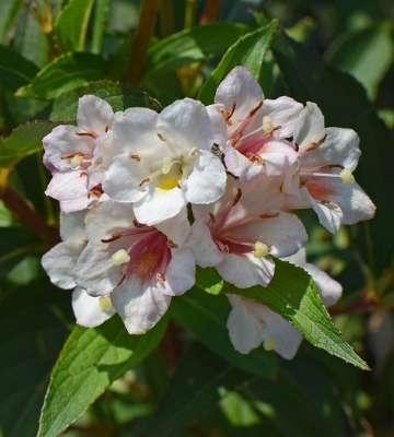 fleur abelia