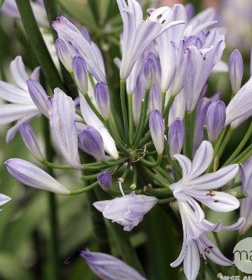 fleur agapanthe