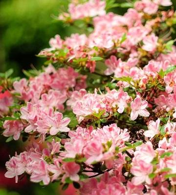 fleurs azalée du japon