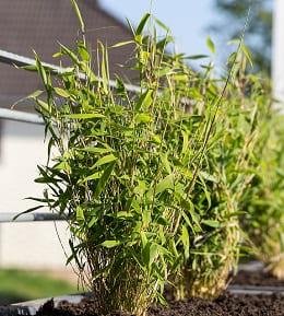 bambou pot balcon