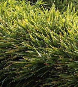 Bambou nain : variétés et entretien