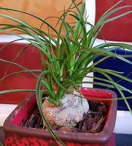 beaucarnea plante pot