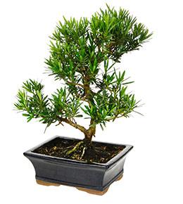 bonsai sapin pot