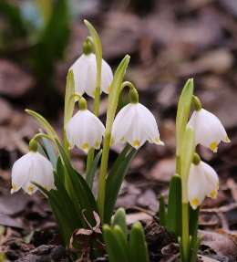 bulbes fleuris