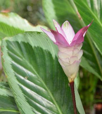 fleur calathea