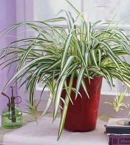 chlorophytum en pot