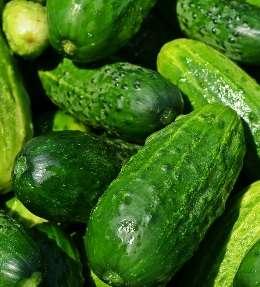 plantation et culture du concombre