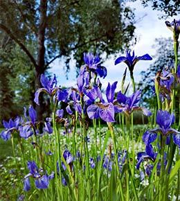 iris jardin