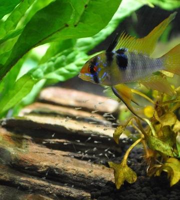 décoration aquarium malawi