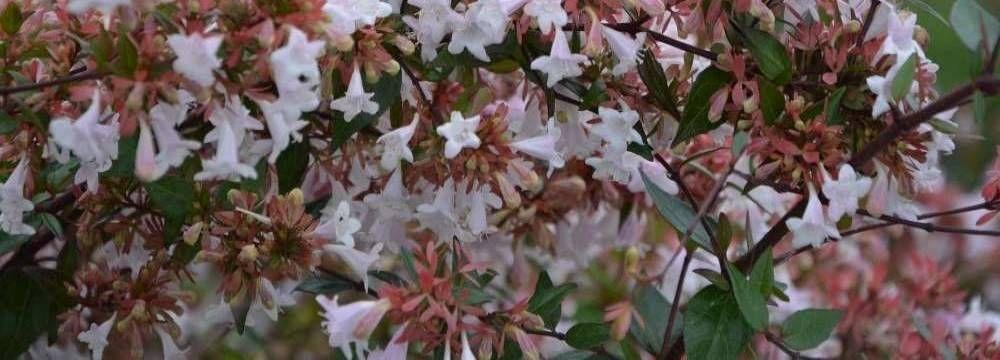 abelia fleurs