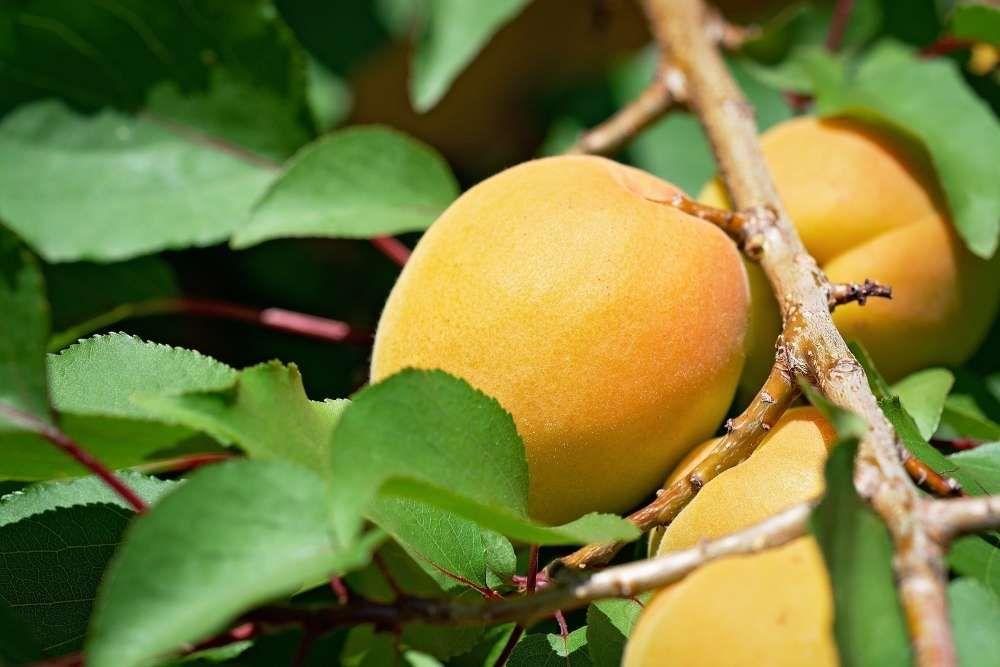 arbre fruitier abricotier