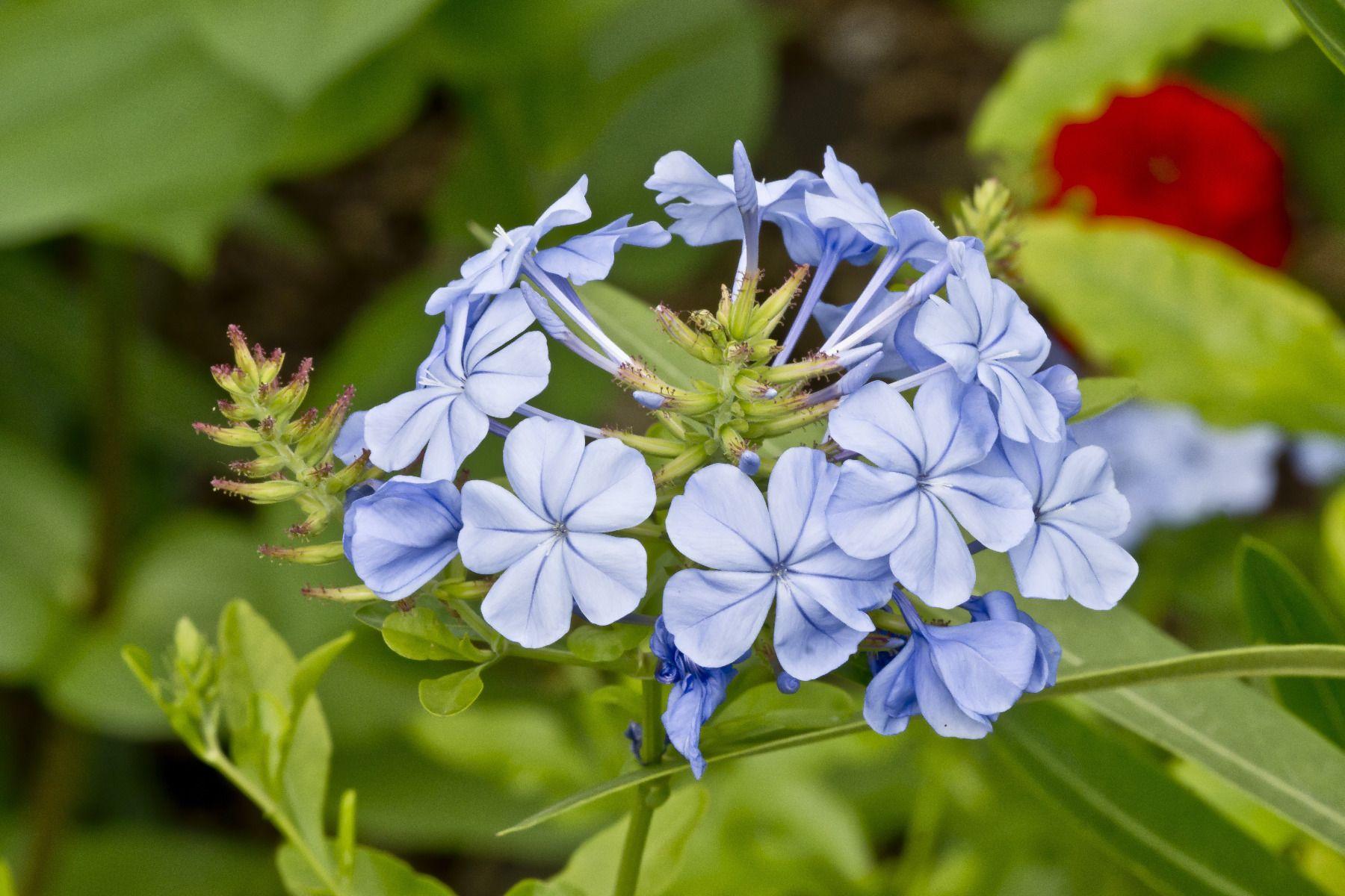 Plantes Pour Talus Sec plumbago : variétés, plantation et entretien