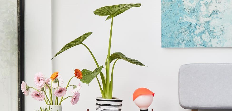 alocasia decoration