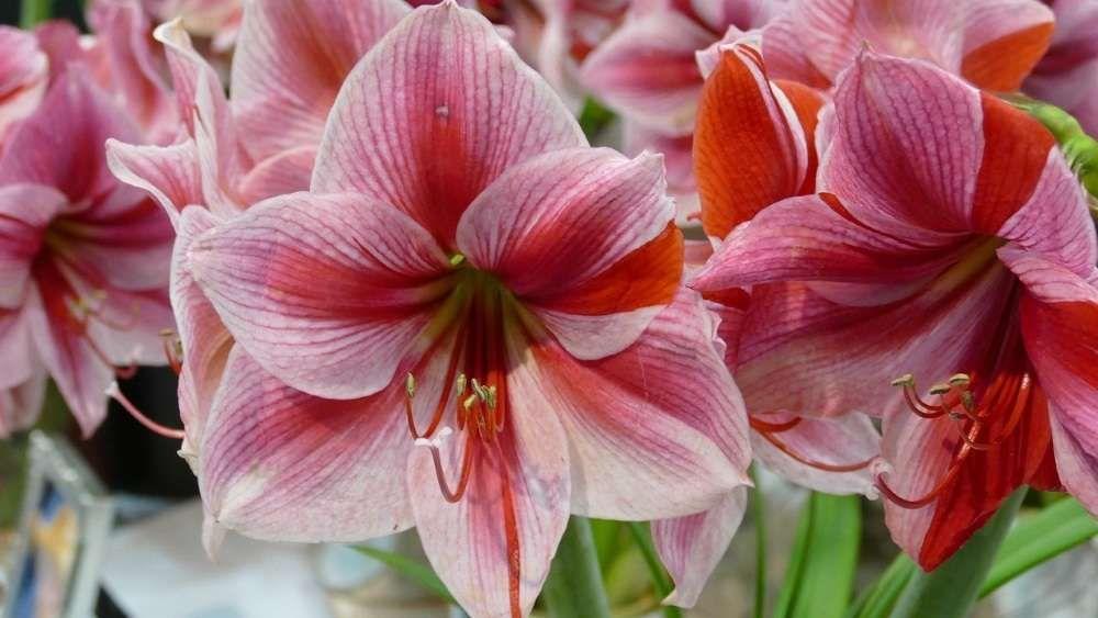 fleur amaryllis