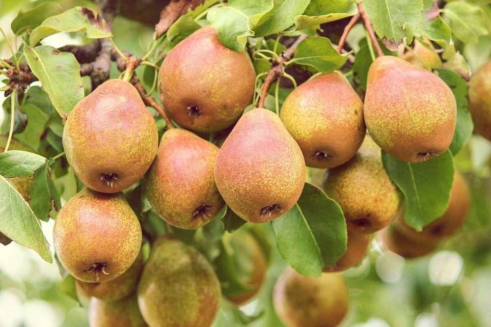arbre fruitier poirier