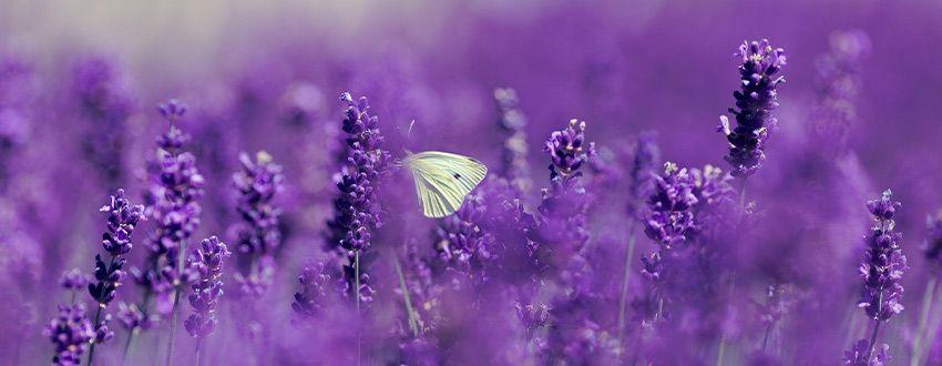 papillon lavandes