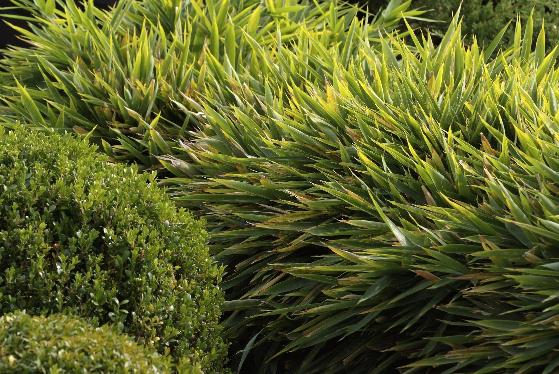 Plante Haute En Pot bambou nain : variétés et entretien