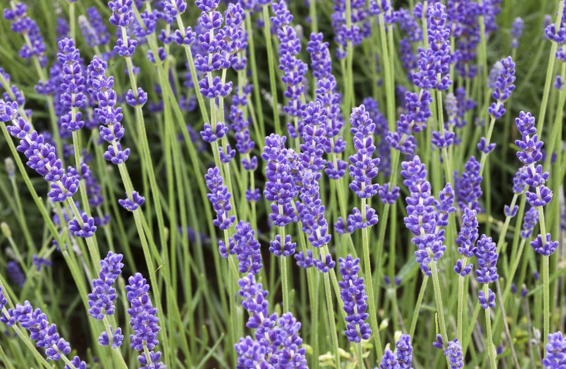 Plante Méditerranéenne Sans Arrosage la lavande: variétés, plantation et entretien