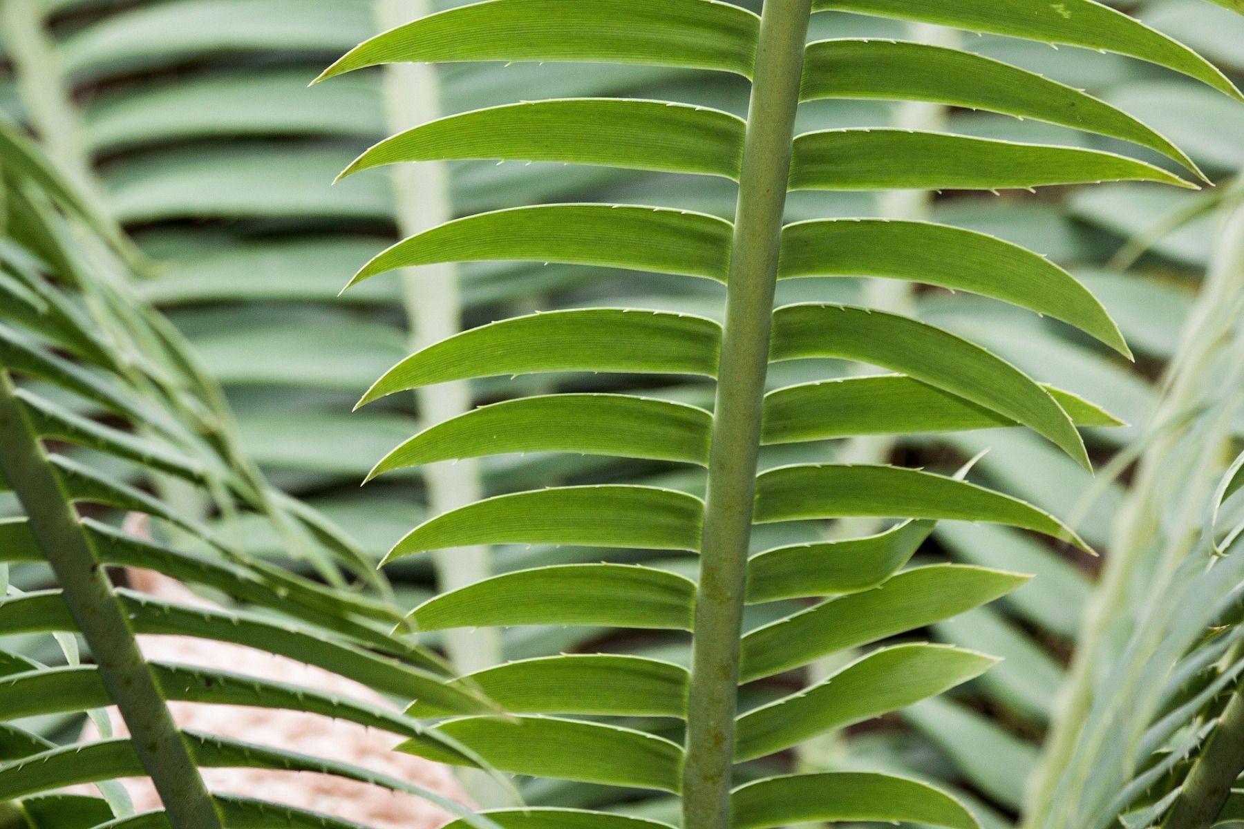 feuilles palmier interieur