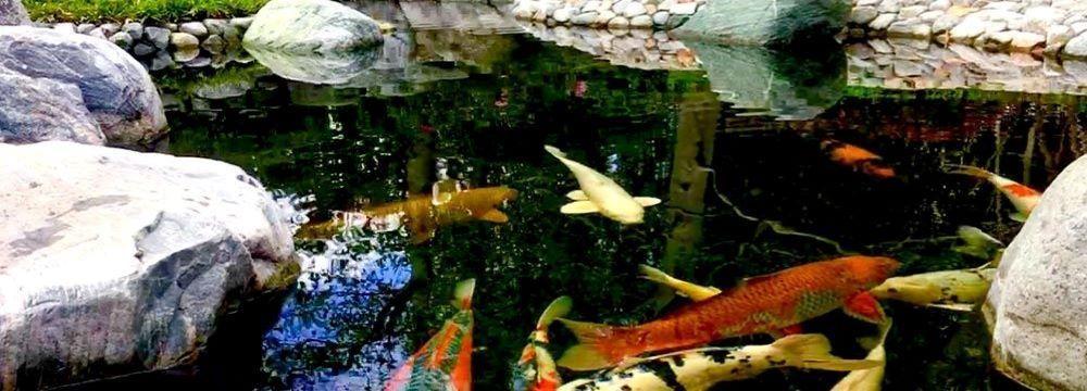 poisson bassin jardin