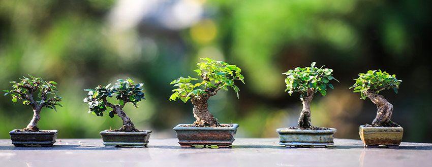 petits bonsaïs
