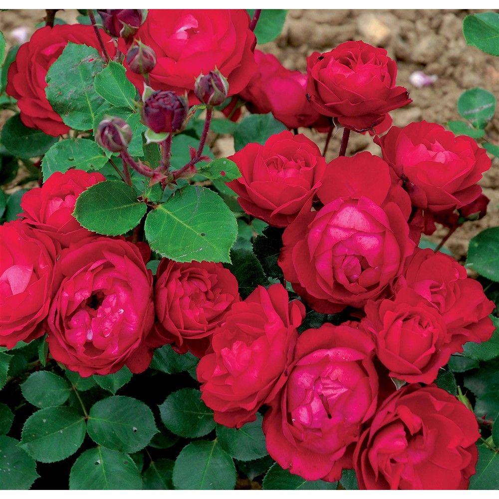Couper Les Rosiers En Octobre comment réussir sa bouture de rosier ?