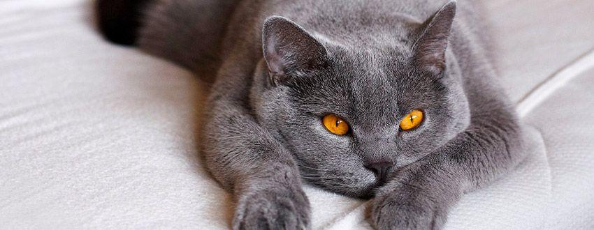 Chat allongé lit