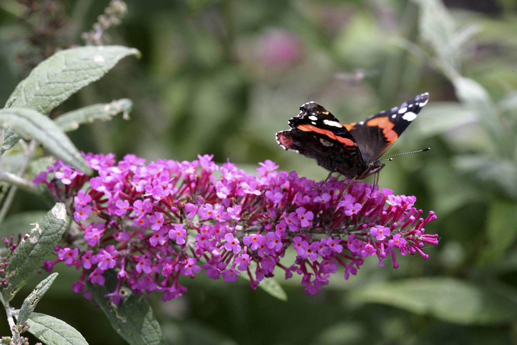 buddleia arbre papillon