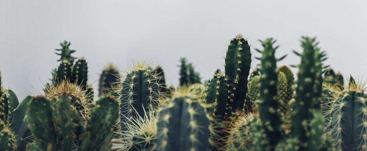 variété cactus