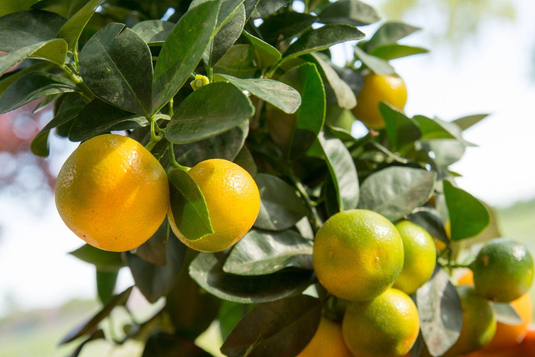 Arbre Fruitier En Pot Interieur calamondin : variétés, plantation et entretien