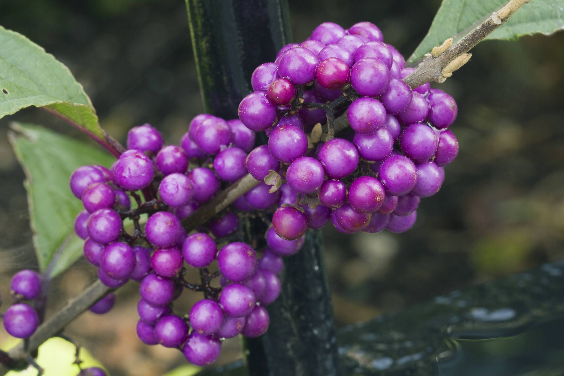 Arbuste Terrain Sec Ombre callicarpa ou arbuste à bonbons