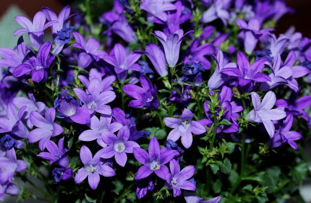 Quelles Fleurs Planter Fin Aout campanule : variétés, plantation et entretien