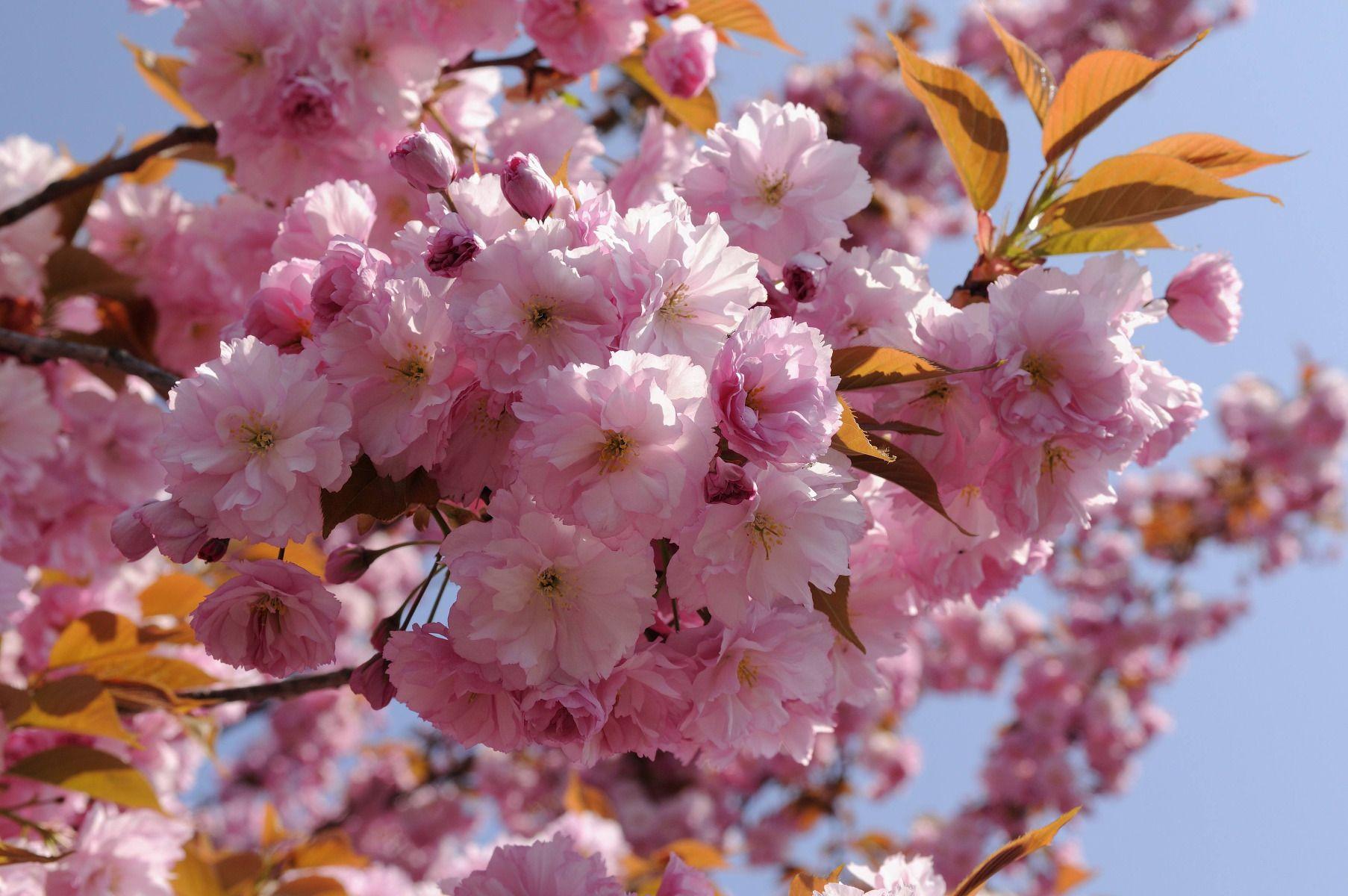 Hauteur Cerisier Du Japon cerisier du japon : variétés, plantation et entretien