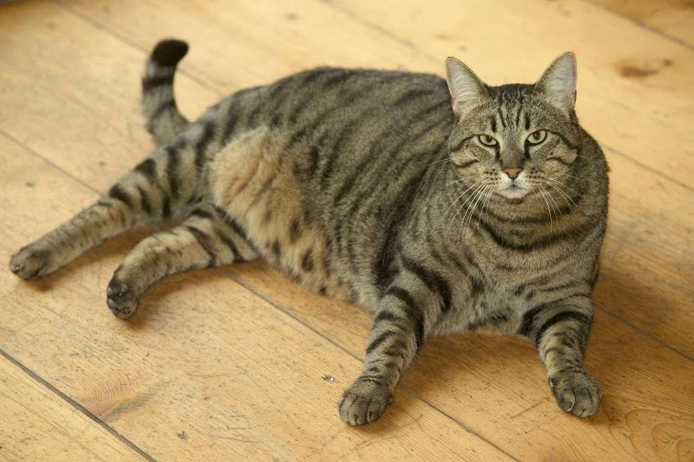 faire maigrir chat