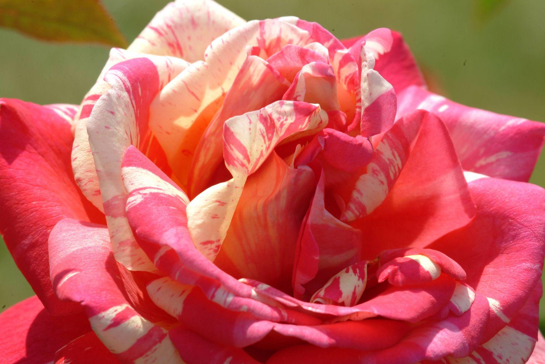 Quand Et Comment Tailler Un Rosier comment bien choisir un rosier ?