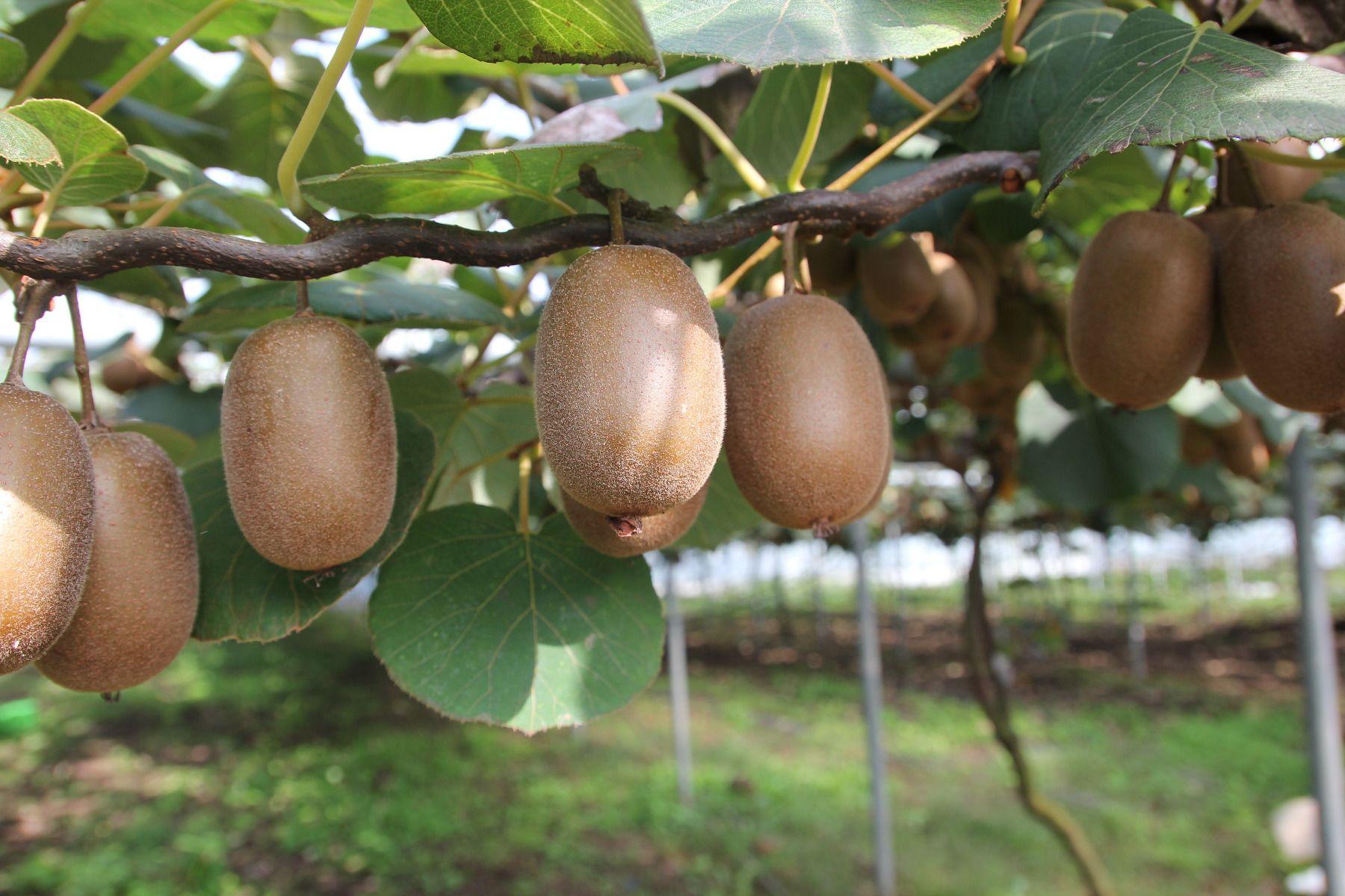 Comment Planter Un Arbre Fruitier comment planter, tailler et entretenir un kiwi ?