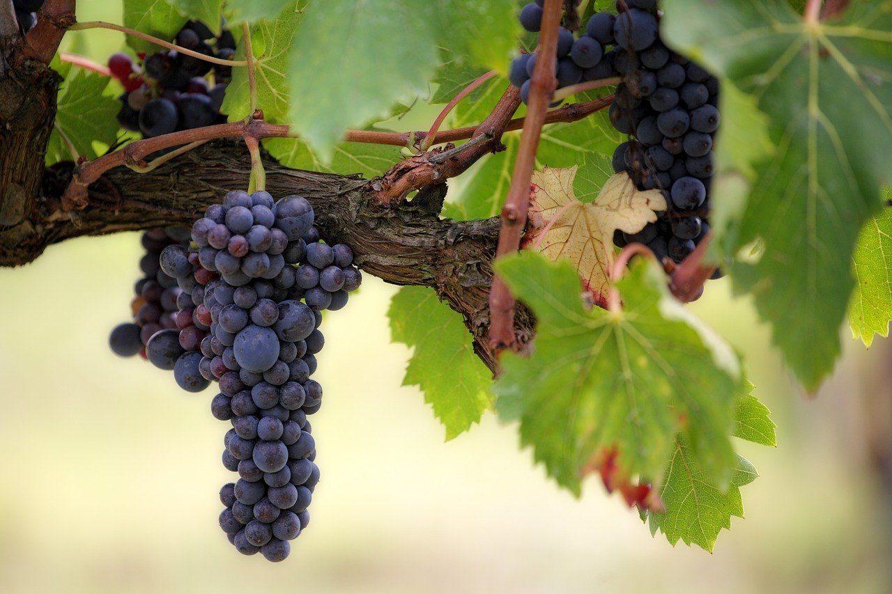 Quel Fruit Planter Au Printemps comment planter, tailler et entretenir de la vigne ?