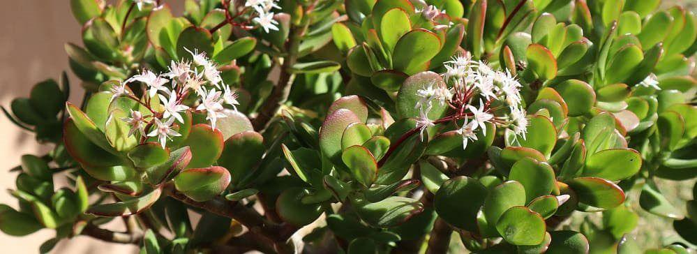 crassula fleurs