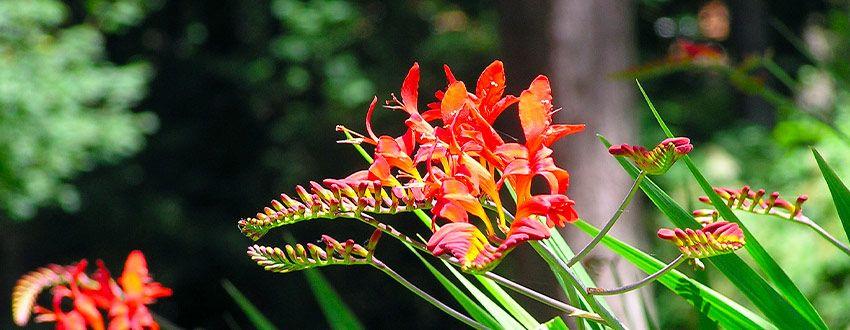 plante crocosmia