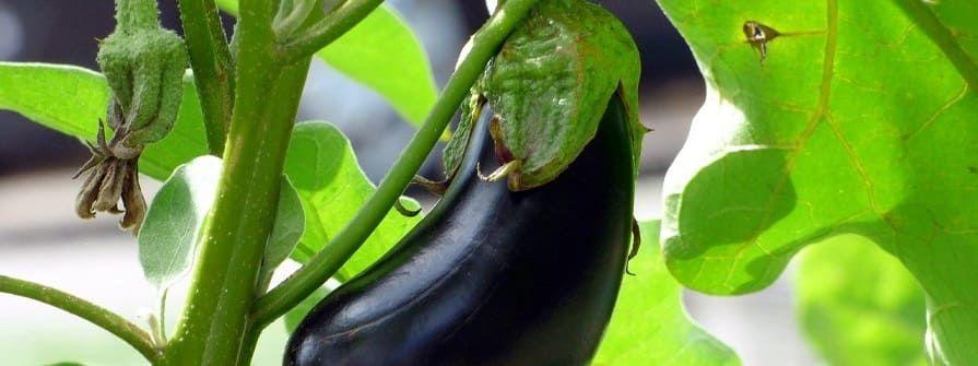planter aubergine
