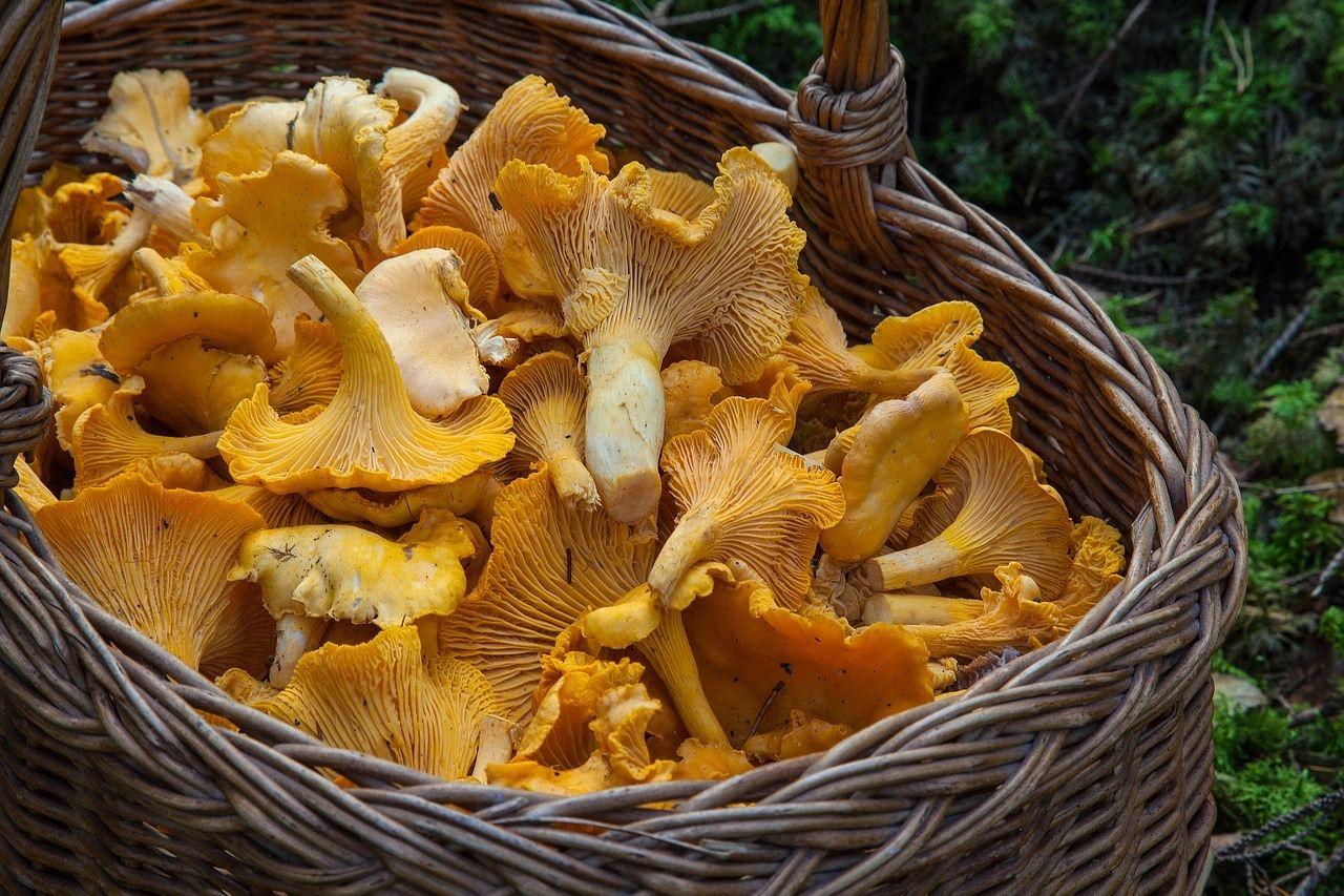 Comment Cultiver Les Oignons comment cultiver des champignons comestibles ?