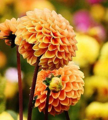fleurs dahlias