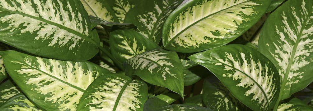 dieffenbachia feuilles