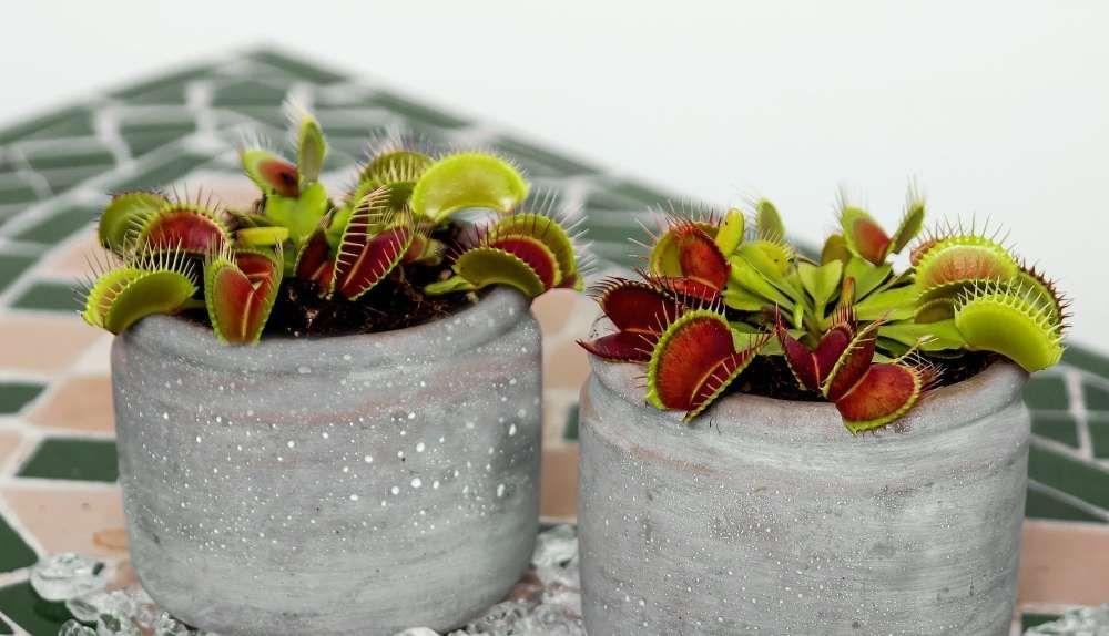 plante attrape mouche