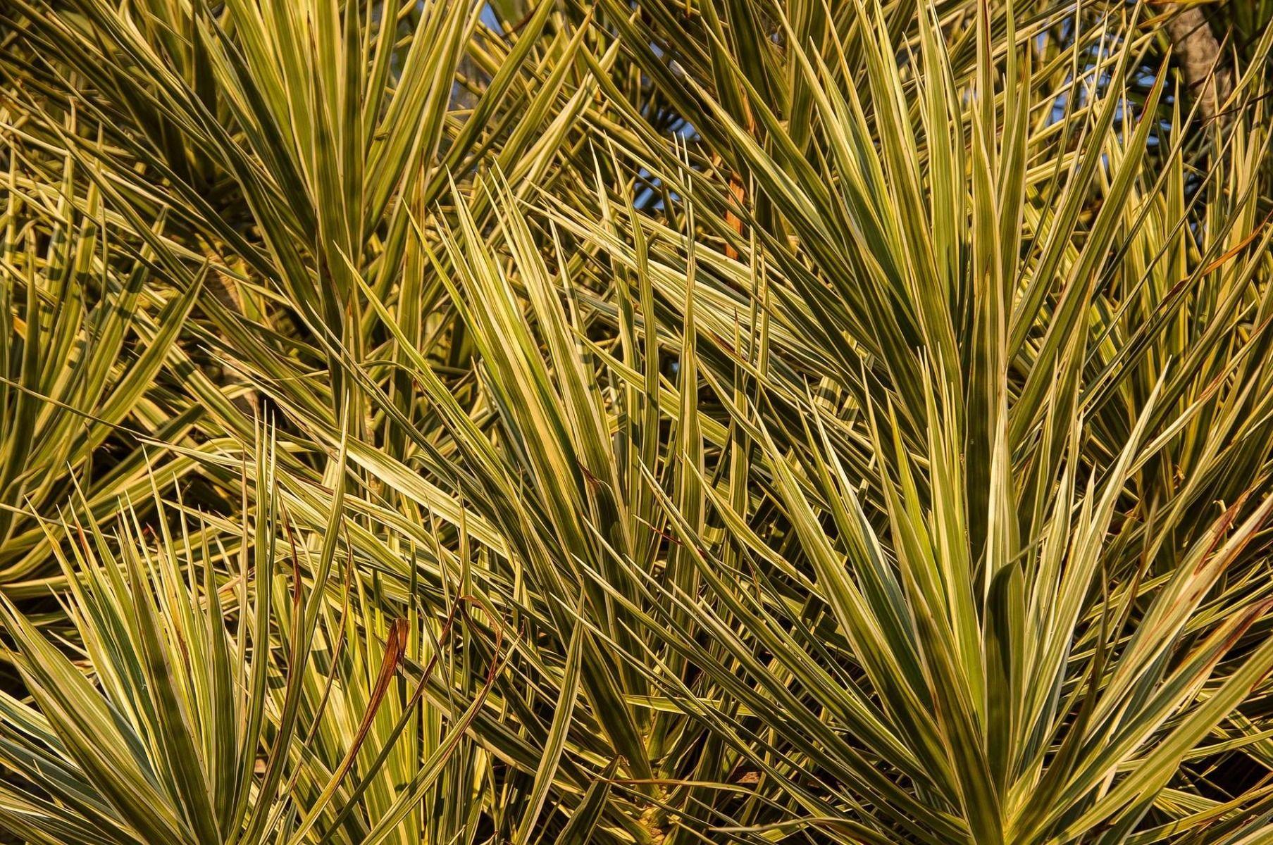 feuilles dracaena