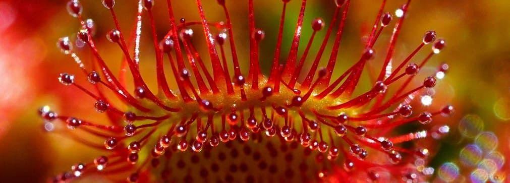 droséra plante carnivore