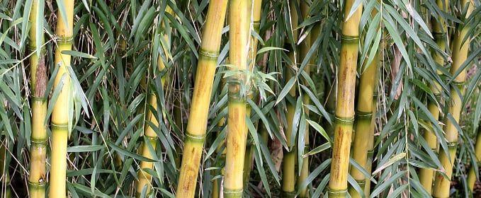 entretenir bambous